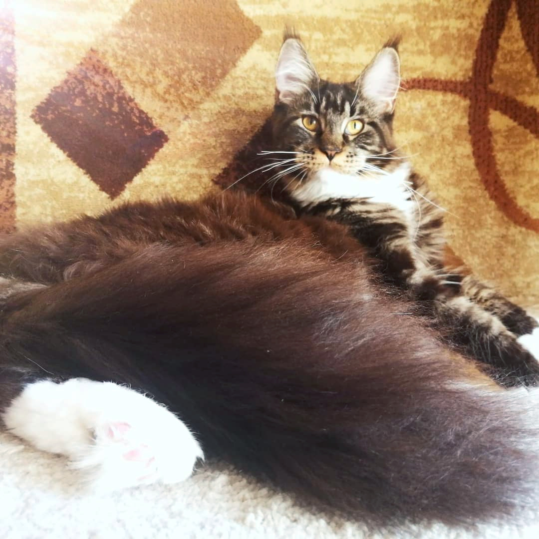 Ofelia King Size Maine Coon Russia