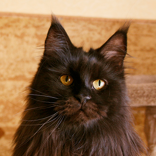 Maine Coon female ns black smoky