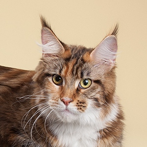 maine coon female