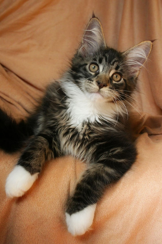 maine coon kittens photo