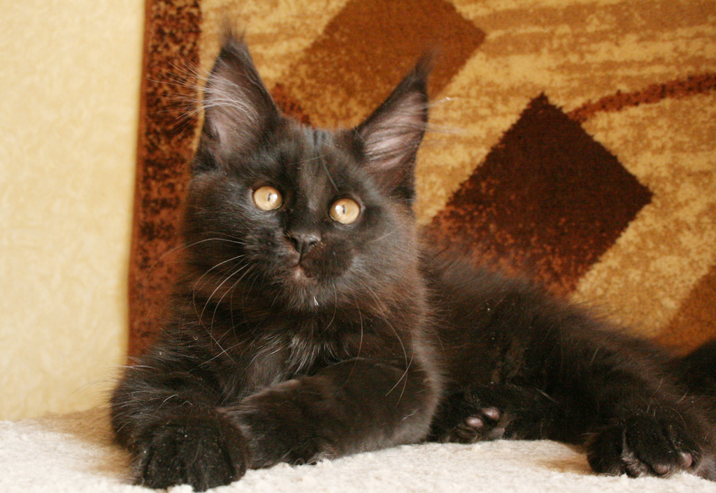 black with white maine coon kittens