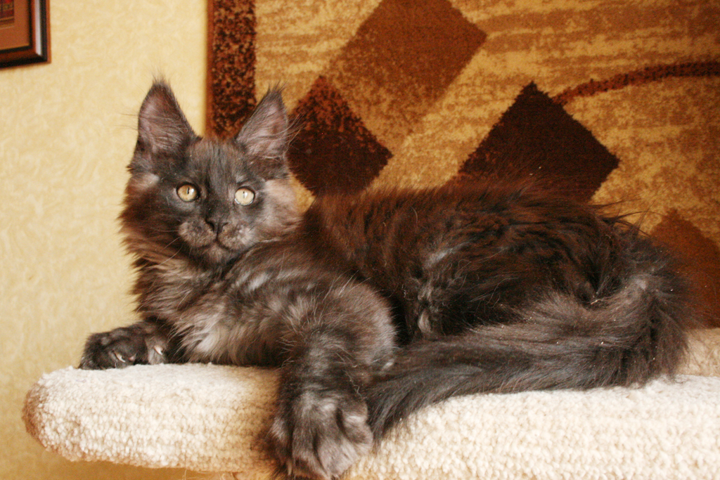 black smoke maine coon kitten male