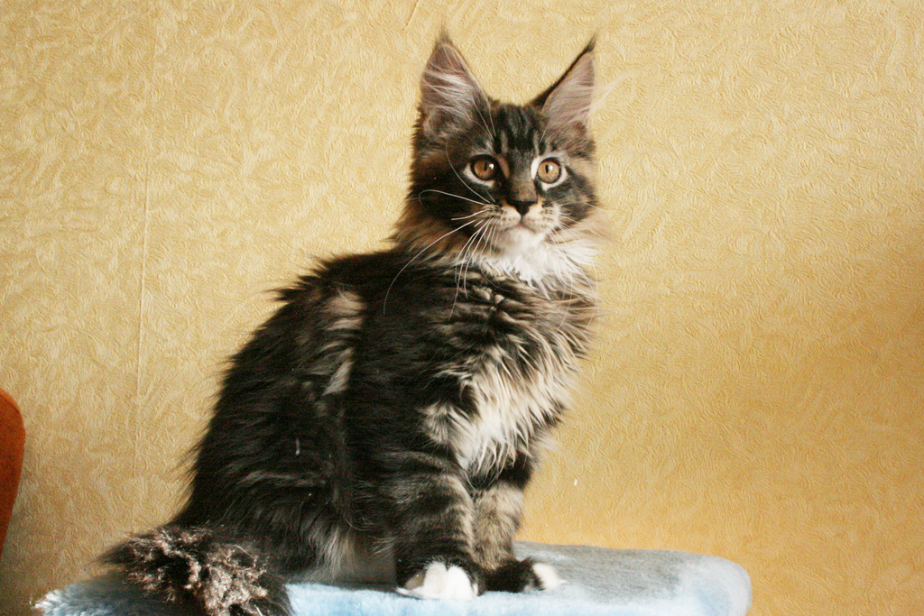 black blotched bicolor maine coon kitten
