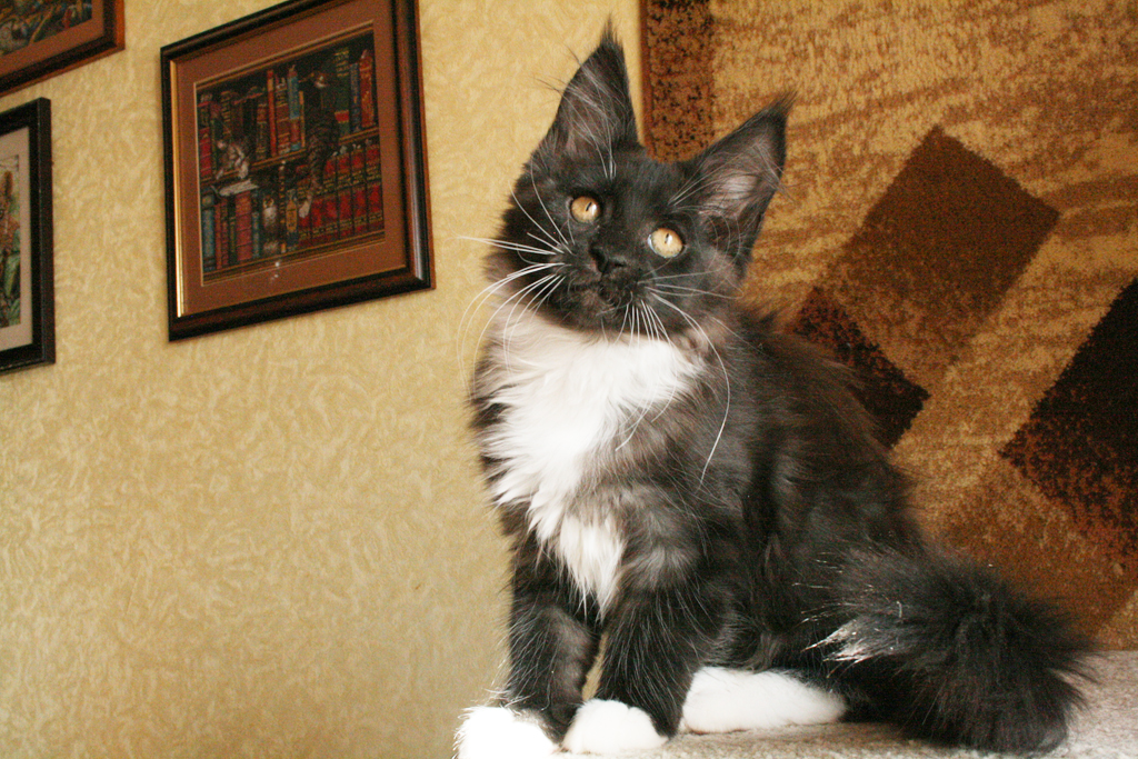 black smoke bicolor maine coon kittens