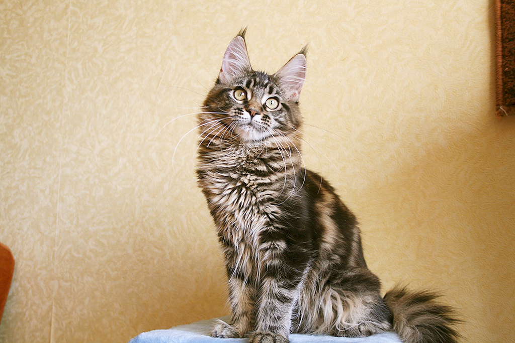 Maine Coon female n22