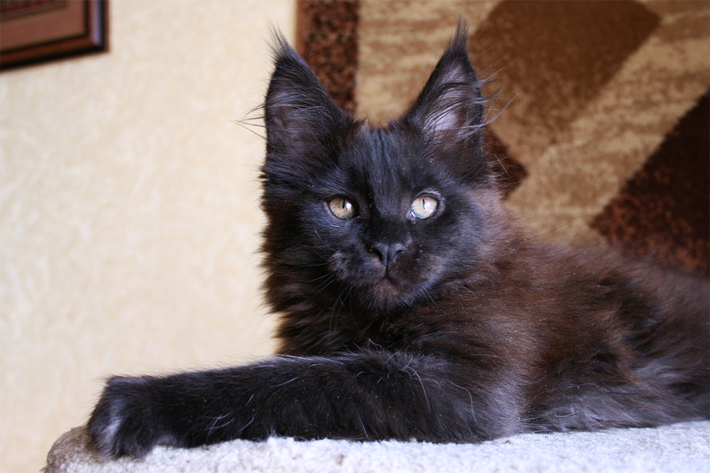 maine coon kittens black smoky