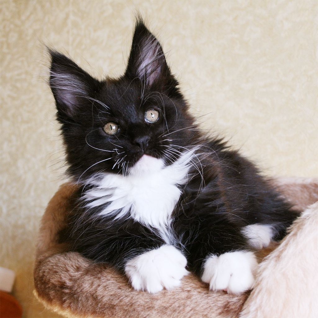 maine coon kitten black and white