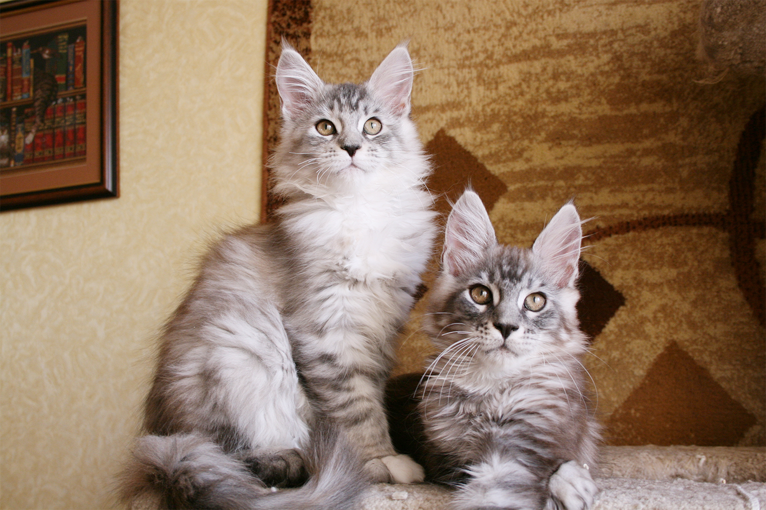 Maine Coon kittens silver batty