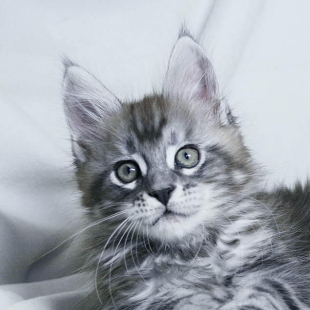 Maine Coon kittens silver tiger