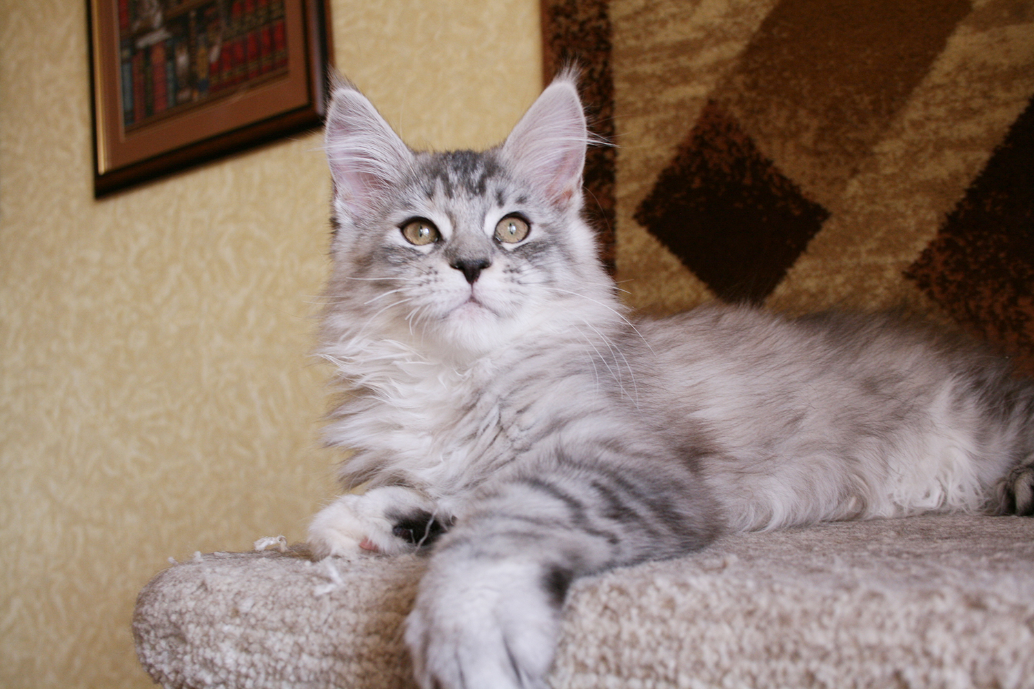 Maine Coon kittens Russia