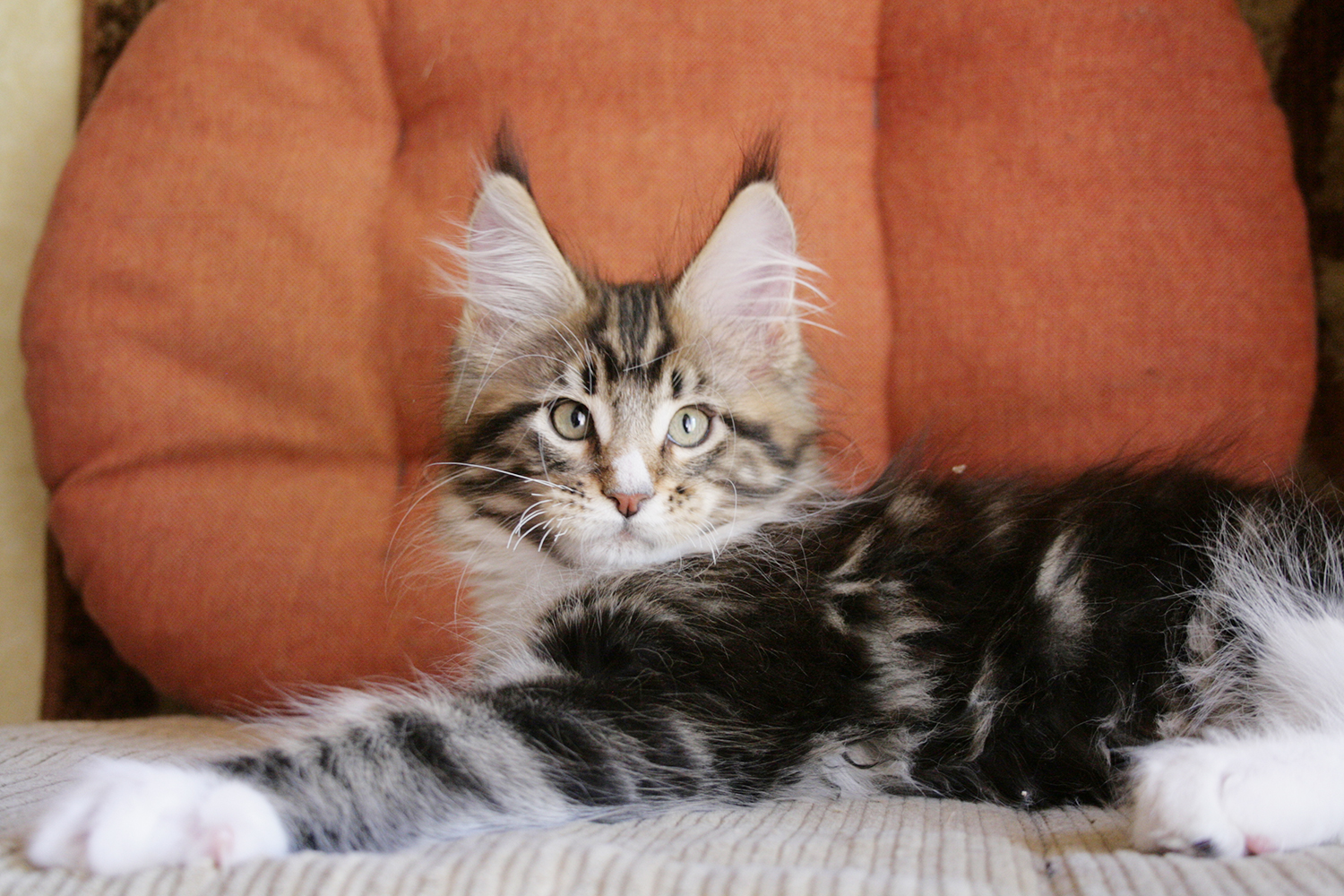 Maine Coon kittens in Russia