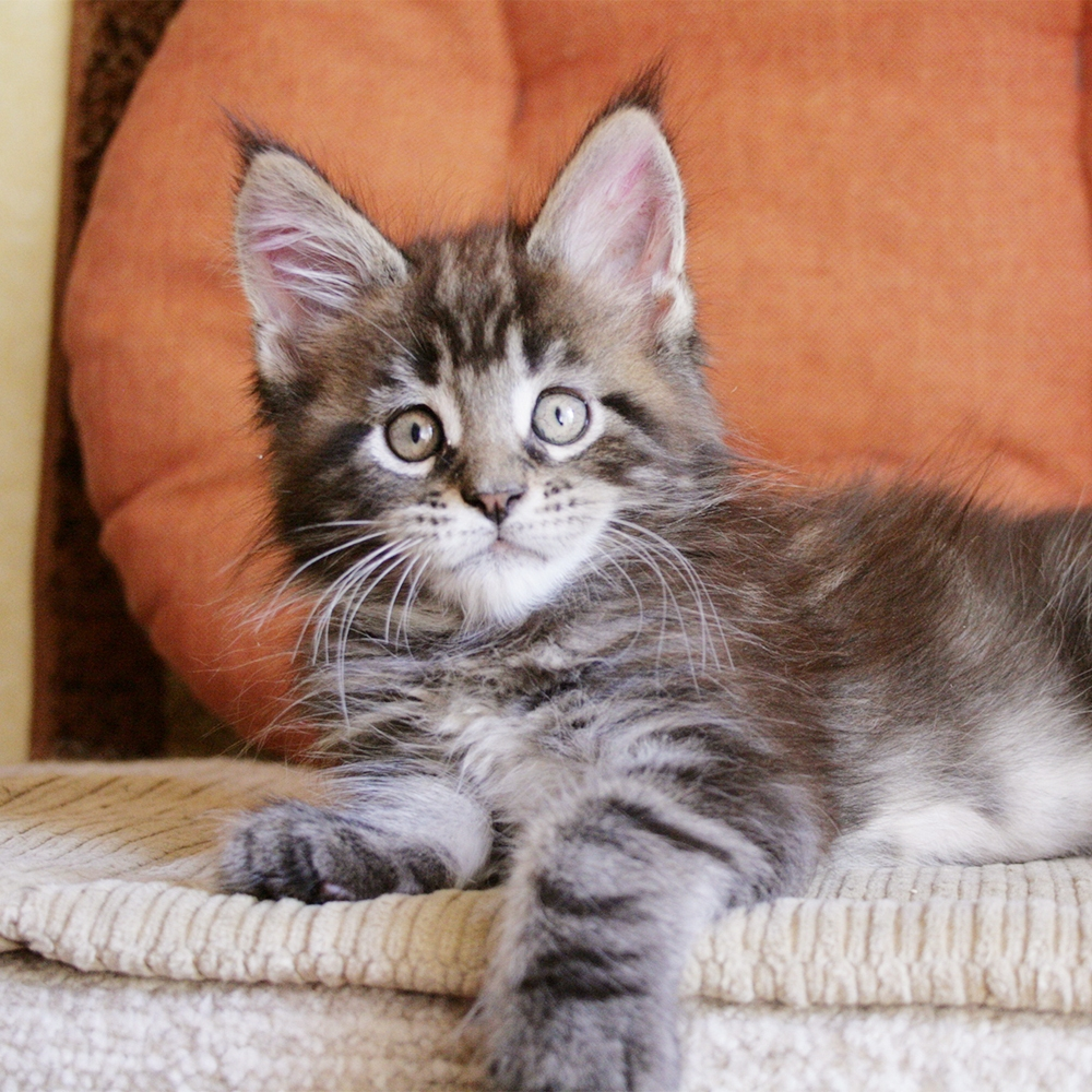 Maine coon kittens Russia black tabby blotched bicolor
