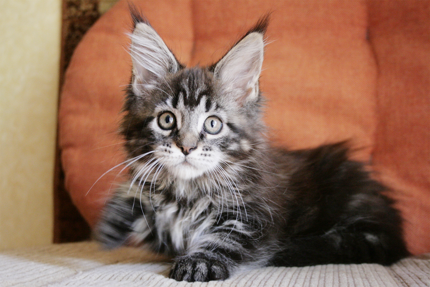 Maine Coon kitten female, Russian Maine Coon
