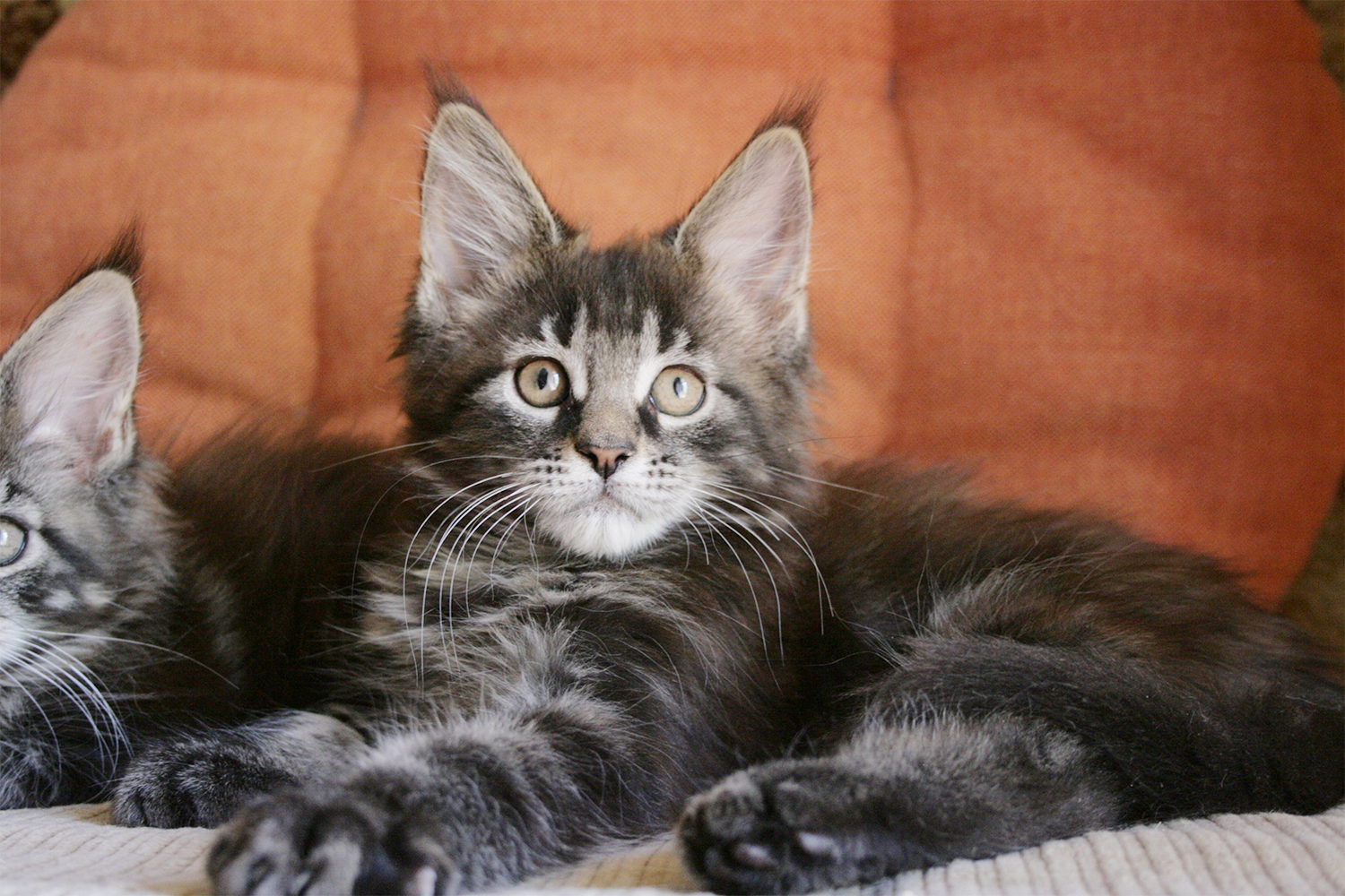 Maine Coon kitten male 9 weeks black blotched