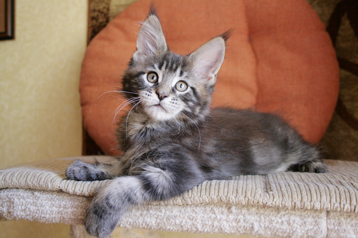 Maine Coon kitten male black blotched