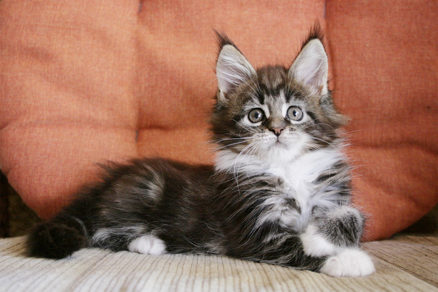 Maine Coon kitten female 7 weeks
