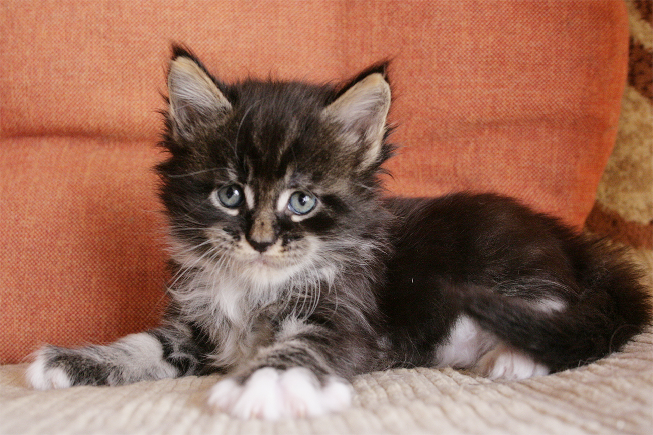 Maine Coon kitten  black  blotched tabby bicolor