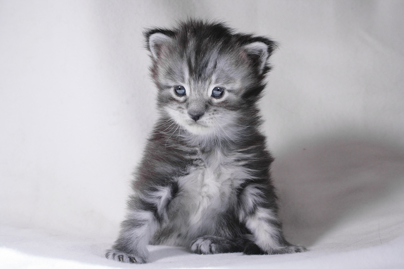 Maine Coon kitten black silver