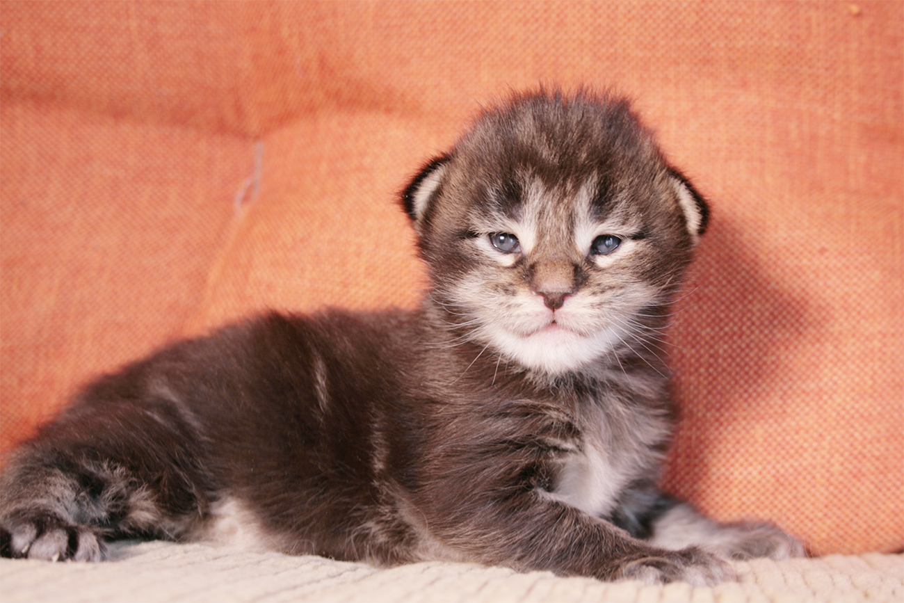 maine coon kitten black blotched