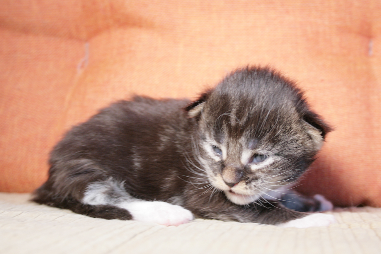 maine coon kitten black blotched bicolour