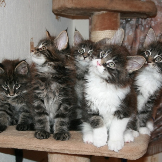 maine coon kittensе