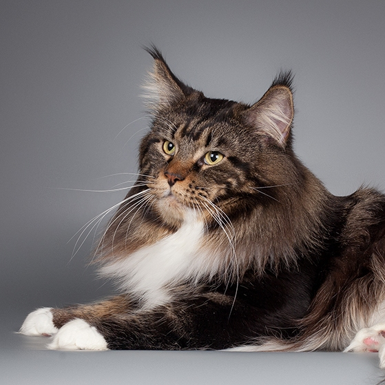 Maine Coon Russia