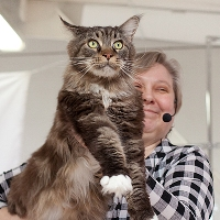 male maine coon