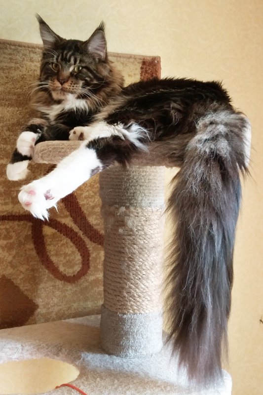 Loki King Size Maine Coon Russia