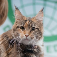 show maine coon