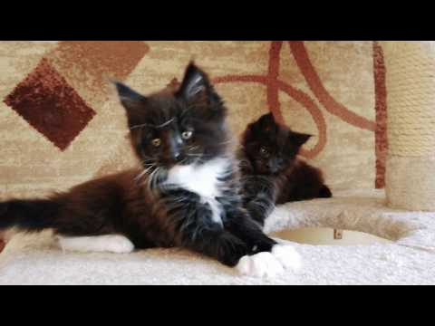 Male Maine Coon Orlamdo King Size 6 weeks