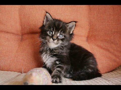 maine Coon female 5 weeks old