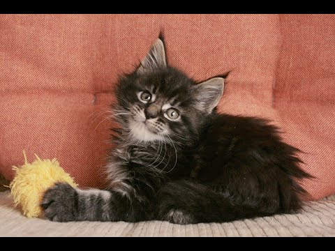Maine Coon female 7 weeks old