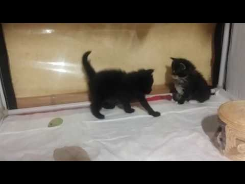 maine Coon kittens 1 month old
