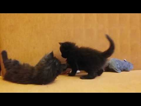 Maine Coon kittens 1 month
