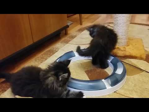 maine Coon kittens 7 weeks